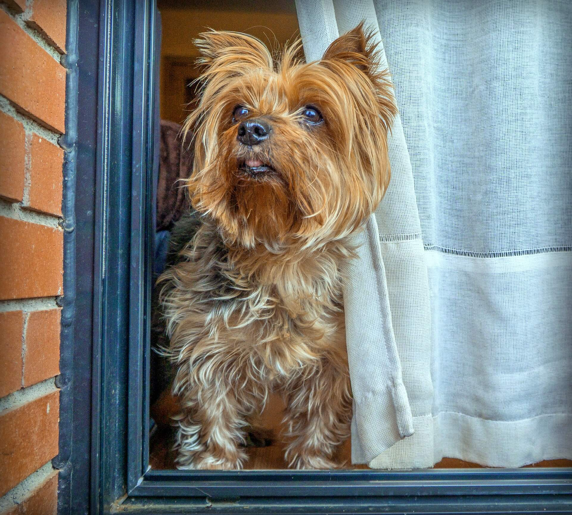 yorkie looking through window
